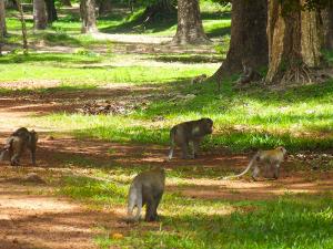 siem-reap-angkor-wat-monkeys