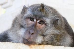 Monkey-Bali-Ubud-Uluwatu