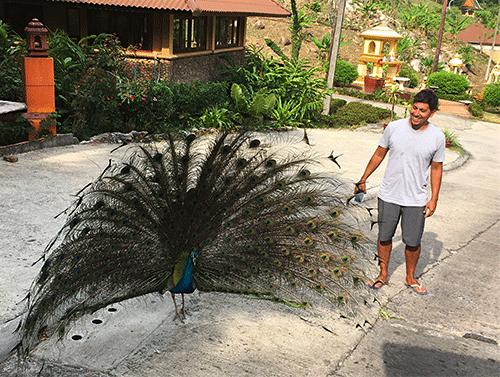 aiyapura peacock